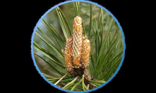 Gripostop-pine-buds.png