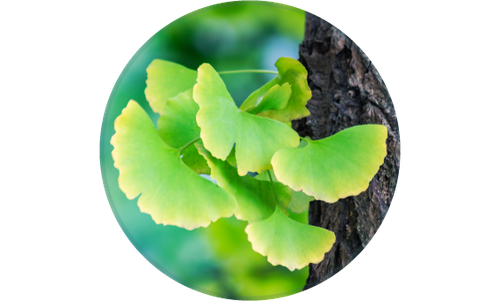 Solemax-ginkgo.png
